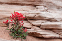 Indian Paint Brush on Park Avenue - Arches Nat'l Park
